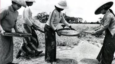 Rice harvesting in Darmasaba, Bali